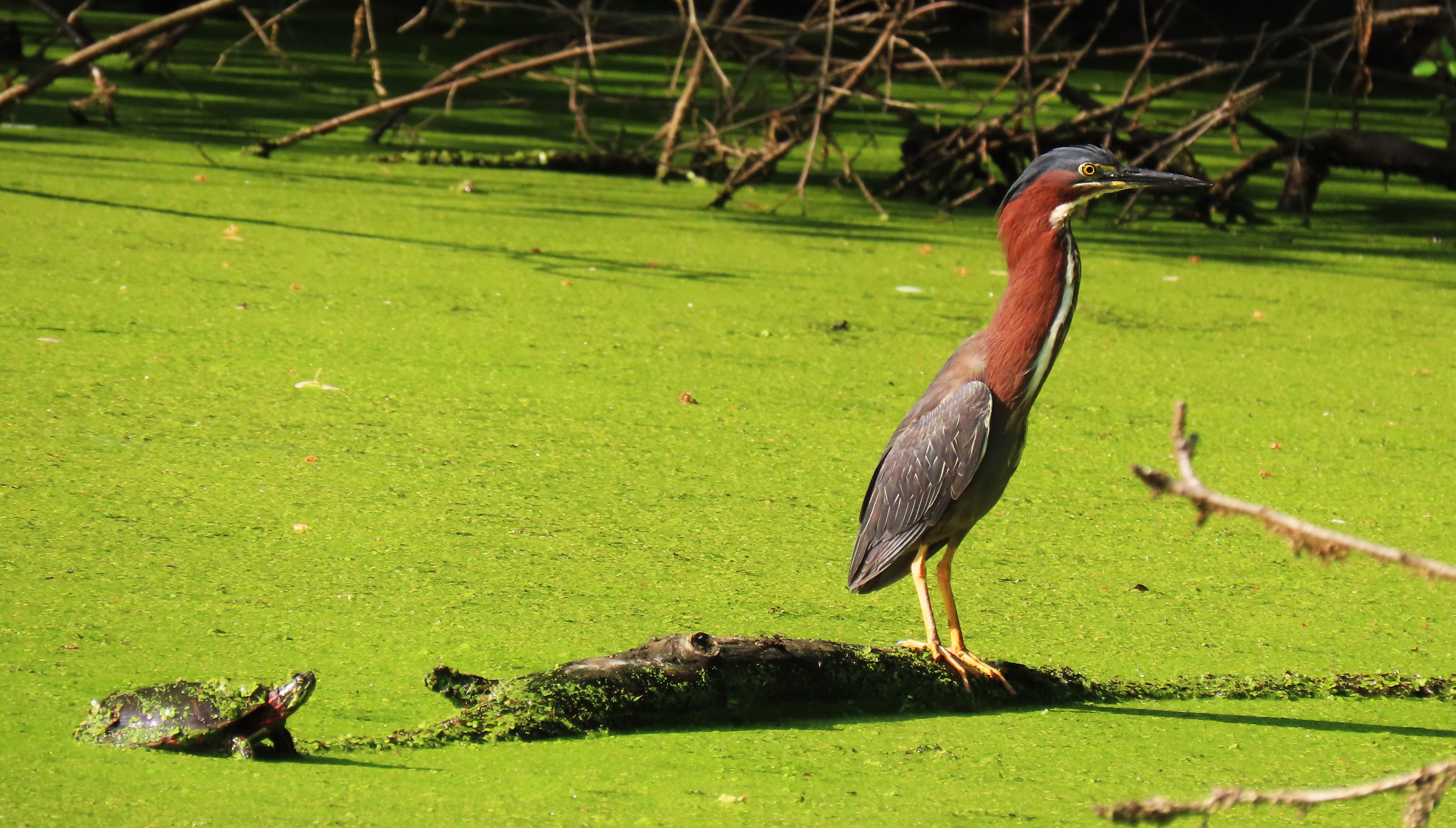 A green heron stands on a partially submerged log in a duckweed-covered pond