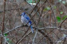 Winter Blue Jay