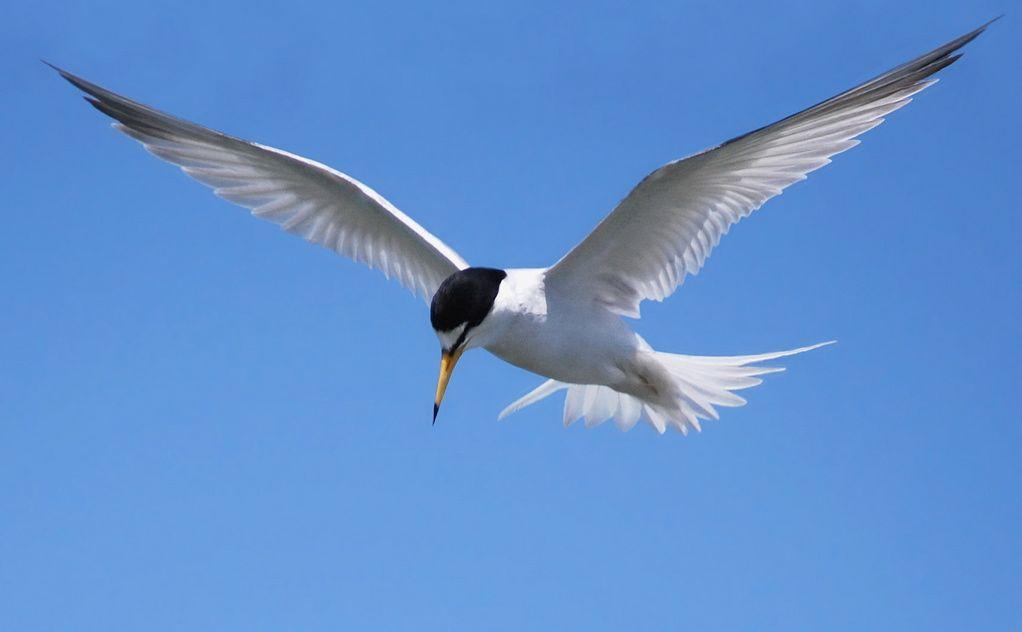 An endangered birds population is rebounding but fragile