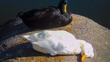 """Ebony and Ivory,"" domestic ducks abandoned at Lake Merritt"