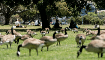People and geese on a sunny day at Lake Merritt in Oakland.