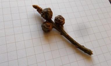 alderman oak 8 april cola nut gall