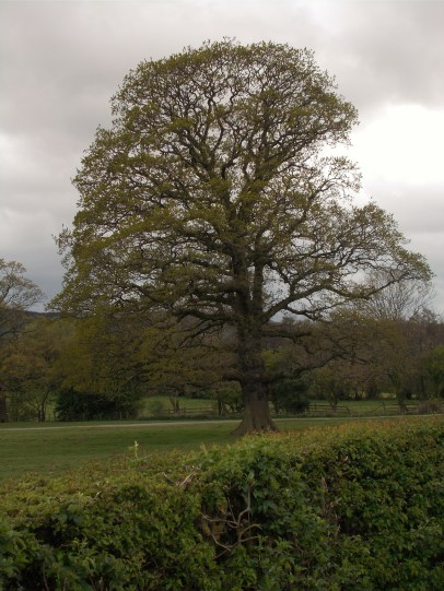 Gisbough park oak - view from road level with lodge