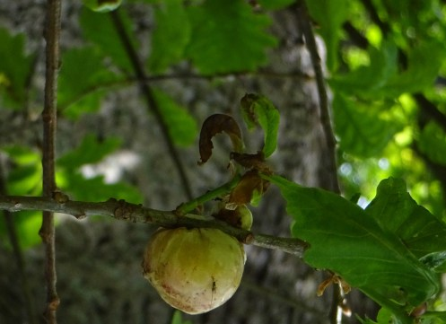 large oak apple gall