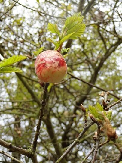 oak apple on tree