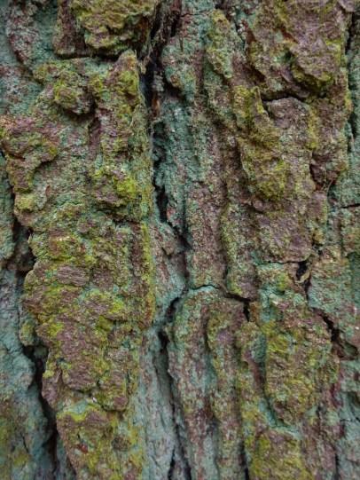oak bark close up with powdery lichen