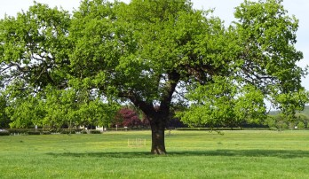 other oak, reduced crown and shows tree planting