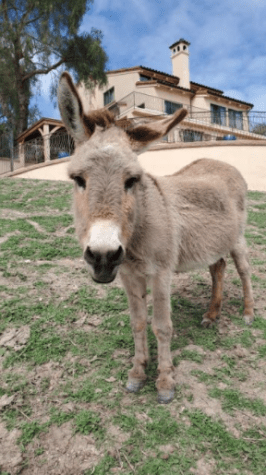 Mama the donkey grazes in front of her home. (Photo Courtesy of Schafer Aldrich)