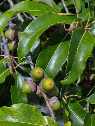 #0-057-Quercus_ imbricaria-3_GP