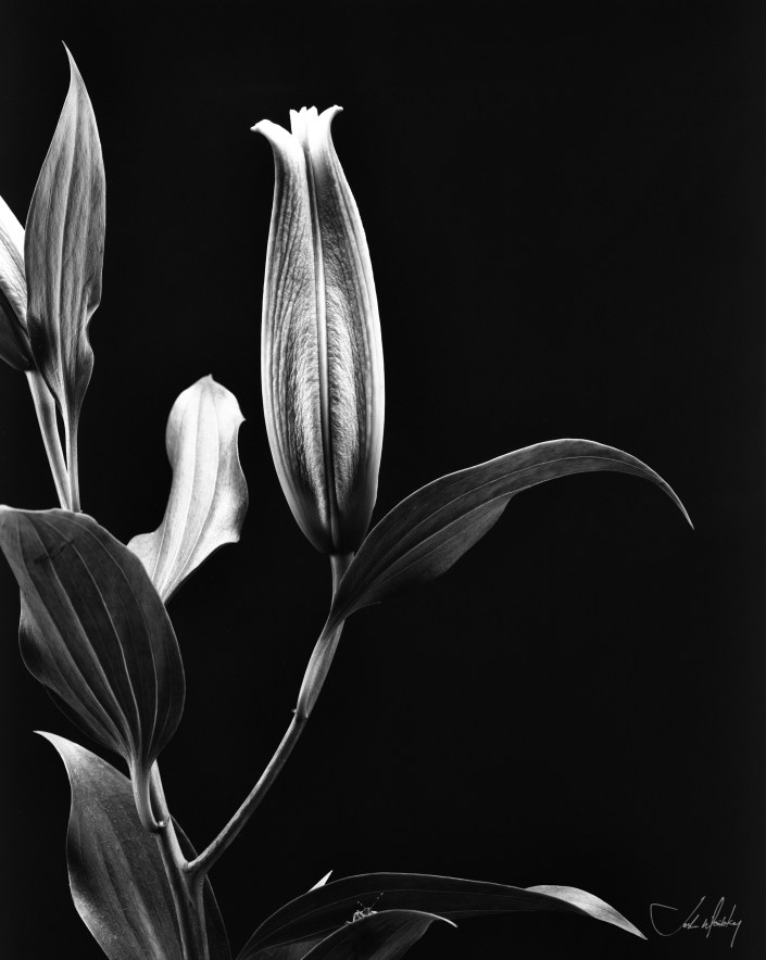 black and white photo Aster lily Josh Wisotzkey