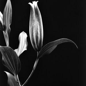 black and white photo Aster lily Josh Wisotzkey