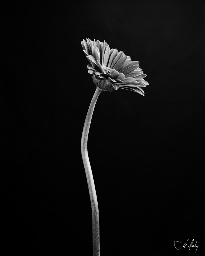 Black and white photo gerber daisy Josh Wisotzkey