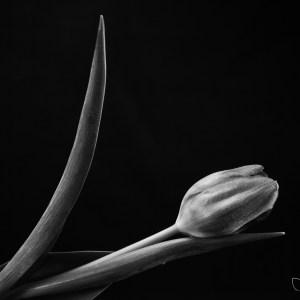 Black and white photo tulip Josh Wisotzkey