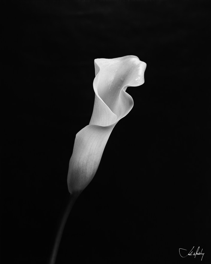 Black and white photo Calla Lilly Josh Wisotzkey