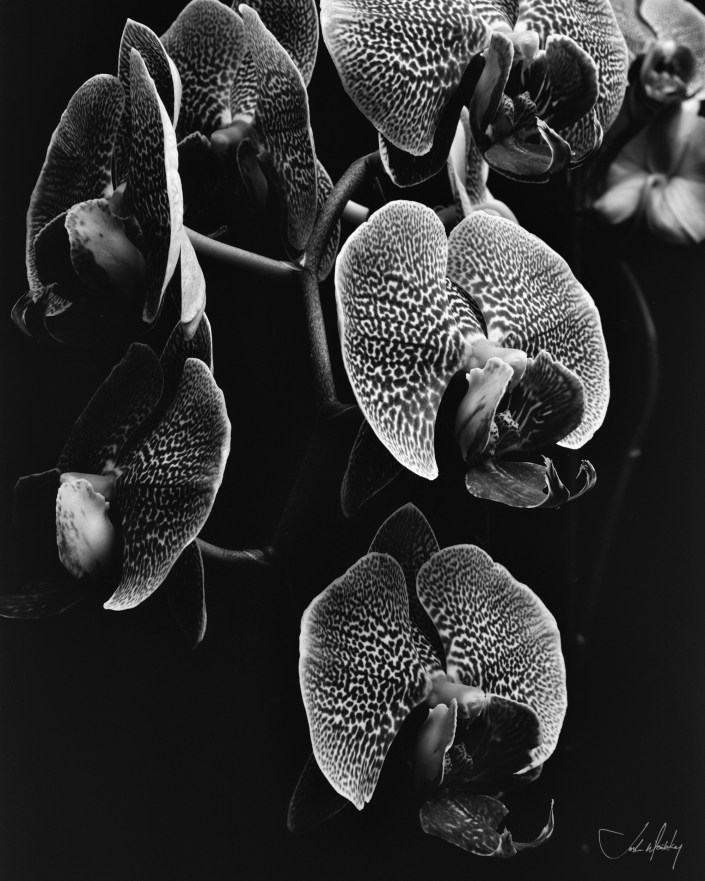black and white orchid photograph Josh Wisotzkey