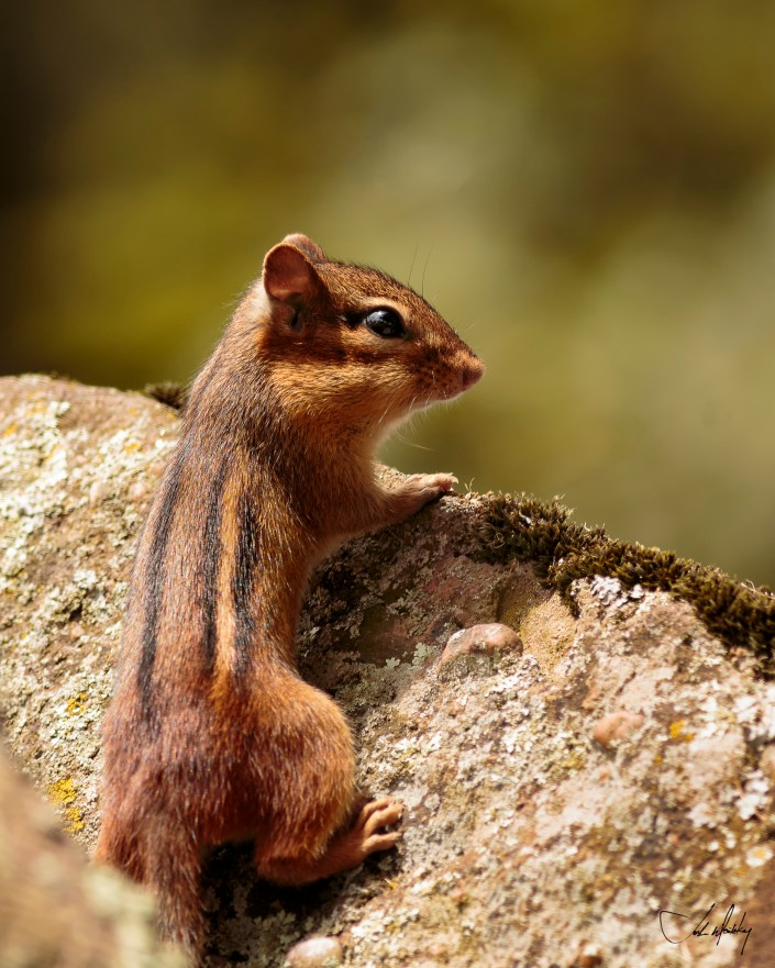 Chipmunk photo color Josh Wisotzkey