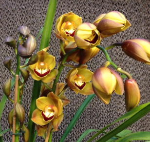 Buds and Blooms of a Cymbidium Orchid