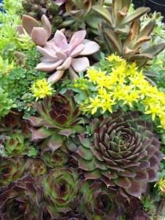 Succulents - Closeup