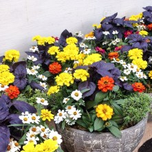 Bedding plants and herbs in bright colors brightened tables for a party...