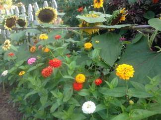 Zinnias and Sunflowers...