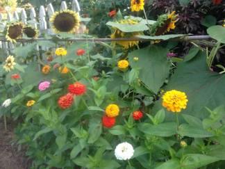 Zinnias and Sunflowers...