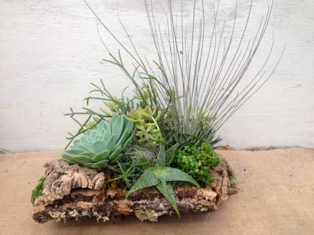 Succulents and Air plants in CorkBark