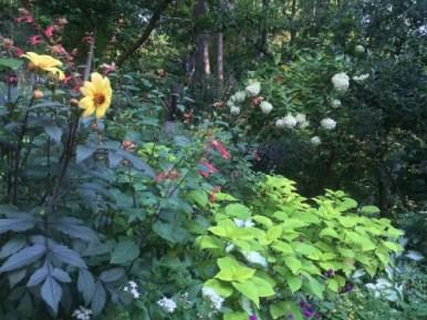 Dahlia Coleus Kris' Garden