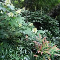 Kris' Garden - Hydrangea, Mahonia, Bottlebrush Buckeye