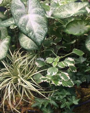 Foliage Vignette - Aaron Caladiums, Swedish Ivy, Carex