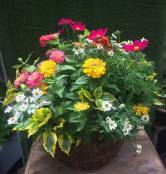 Spring Arrangement - Zinnias