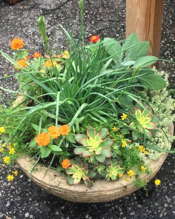 Container Planting for Sun - Bulbine, Zinnias, Dahlberg Daisy, Succulents, Herbs