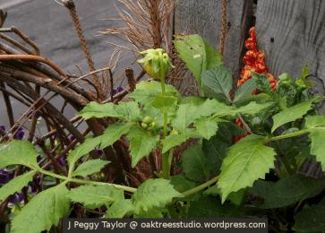 First flowering dahlia - flower bud