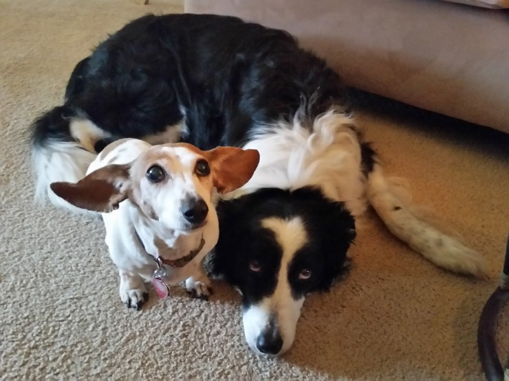 Roxie the doxie and Kylie the collie, dogs, pets, Oana Harrison