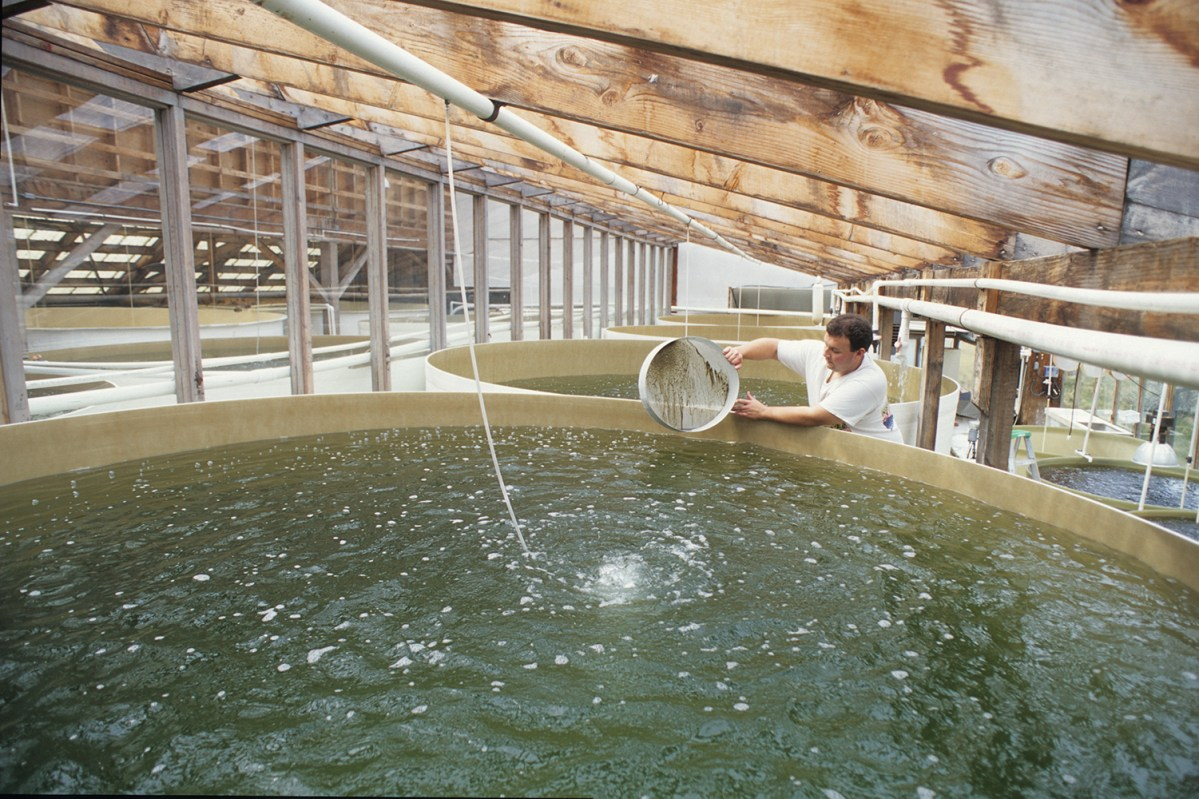 worker placing oyster larvae into 8,000-gallon tank