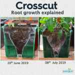 Cross-Cut Oasesbox Root growth explained