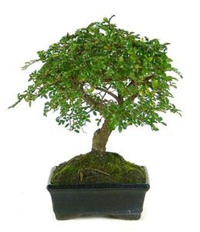 Imagen Zelkova parvifolia ejemplar de 5 años