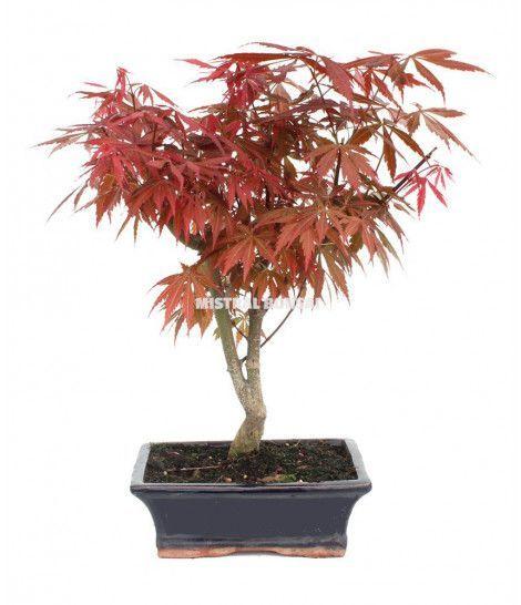 imagen acer palmatum atropurpureum 9 años