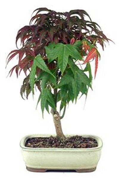 imagen acer palmatum deshojo 7 años