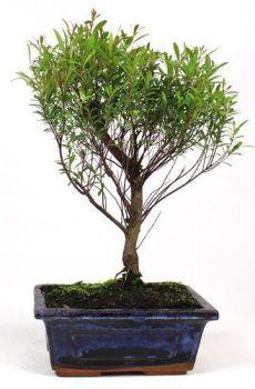 imagen Syzigium Buxifolium 5 años