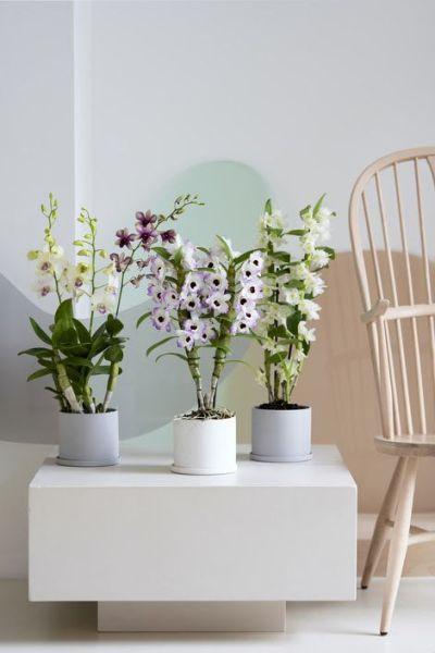Dendrobium orquídea planta del mes - marzo