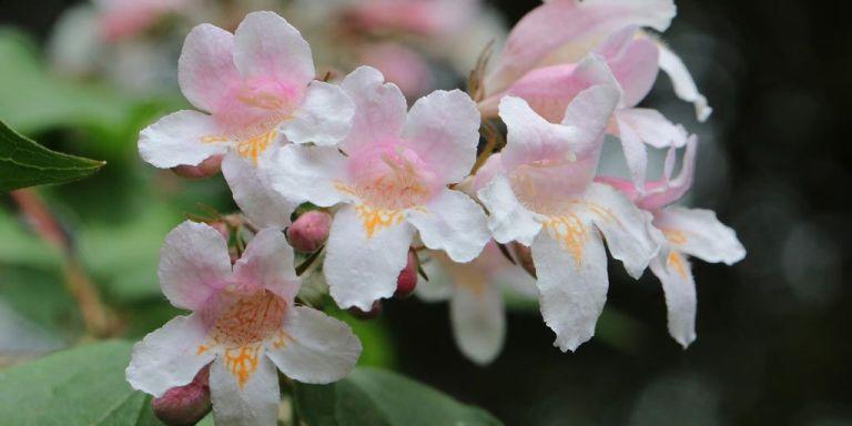 arbustos abelia