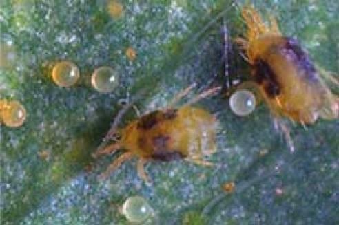 plagas y enfermedades de las plantas araño roja