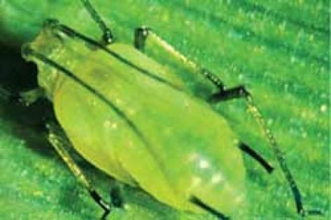 plantas y enfermedades de las plantas pulgón