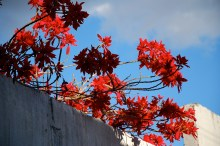 Flower Poinsettias