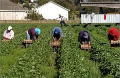 Strawberry-Harvest-Farm-Workers-1051727