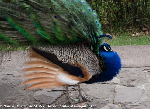 Peacocks-9