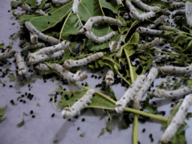 Silk worms dining on mulberry leaves, Oaxaca, Mexico