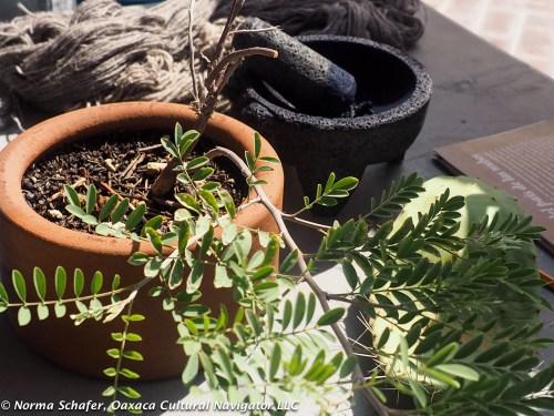 Indigo plant from Oaxaca's coast.