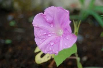 6/27にはもう花が咲いていたアサガオ