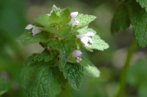 ヒメオドリコソウ 「日陰派」は葉っぱが青シソ色 花も心持ち薄い感じです